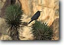 Stock photo. Caption: Raven and Joshua tree Hidden Valley Campground Mojave Desert Joshua Tree National Park, California -- united states parks mohave america trees  deserts bird birds deserts ravens intelligent intelligent scavenger scavengers black opportunistic opportunist