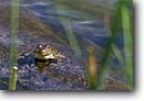 Stock photo. Caption: Mountain yellow-legged frog Palisades Lakes Kings Canyon National Park Sierra Nevada, California -- united states america frogs amphibians amphibian endemic animal animals parks sierras
