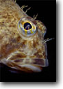 Stock photo. Caption: Threadfin sculpin in giant kelp  forest off Anacapa Island Channel Islands National Park Eastern Pacific Ocean,  California -- Icelinus filamenttosus  fish fishes underwater detail details closeup closeups north eastern pacific ocean cold water scuba dive diving comical cute protection  portrait portraits saltwater photography