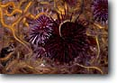 Stock photo. Caption: Purple & red sea urchins among brittle  stars, giant kelp forest  off Anacapa Island Channel Islands National Park Eastern Pacific Ocean,  California -- Strongylocentrotus purpuratus urchin starfish starfishes   forests underwater scuba dive diving  oceans united states america marine sanctuary detail details closeup closeups sealife saltwater photography