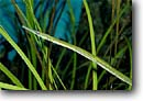 Stock photo. Caption: Bay pipefish (Sygnathus leptohynchus)    lives in eel grass beds San Diego Eastern Pacific Ocean,  California -- united states america fish pipefishes saltwater detail details pacific ocean forests fishes underwater diving scuba camouflage camouflaged adaptation sealife marine environment environments saltwater photography