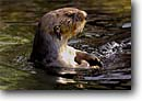 Stock photo. Caption: Sea otter (Enhydra lutris} California (c) -- otters marine mammal mammals eastern pacific ocean united states america enhydra lutris cute animal animals wildlife playful curiosity