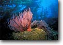 Stock photo. Caption: Red gorgonian in giant kelp forest San Miguel Island Channel Islands National Park Eastern Pacific Ocean,  California -- lophogorgia chilensis macrocystis pyrifera forests underwater scuba dive diving united states america pacific ocean oceans scenic scenics saltwater photography seafloor seafloors