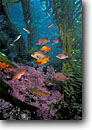 Stock photo. Caption: Black perch and garibaldi in giant kelp forest off Anacapa Island Channel Islands National Park Eastern Pacific Ocean,  California -- Embiotoca jacksoni hypsypops rubicundus forests parks island fish fishes underwater scuba dive diving eastern pacific ocean united states america scene scenics scenic saltwater photography
