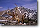 Stock photo. Caption: Bristlecone pine below Boundary Peak Boundary Peak Wilderness White Mountains, Inyo National Forest Mono County, California -- Keywords: highcountry enduring trees tree pines ancient rugged forests spring landscape landscapes bristlecones timeless clear skies sunny days united states america state survivor tenacity tenacious dead wildernesses remote stark mountain scenic scenics