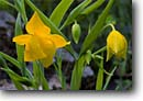 Stock photo. Caption: Diogenes lantern Alderpoint Road North Coast Ranges Humboldt County, California -- native flower flowers wildflower wildflowers detail details closeup closeups macro macros yellow america spring flowering blooming bloom blooms blossoms woodland forest foothill calochortus lanterns amabilis nodding yellow delicate light hanging