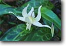 Stock photo. Caption: California fawn lily Six Rivers National Forest North Coast Ranges Humboldt County, California -- lilies erythronium californicum  native flower flowers wildflower wildflowers detail details closeup closeups macro macros united states america spring flowering blooming bloom blooms blossoms woodland forest foothill