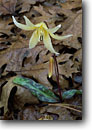 Stock photo. Caption: Lemon-colored fawn lily Highway 36, Trinity National Forest North Coast Ranges Shasta County,  California -- native flower flowers wildflower wildflowers detail details closeup closeups macro macros united states america spring flowering blooming bloom blooms blossoms woodland forest foothill Erythronium citrinum forests delicate rare