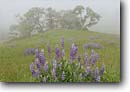 Stock photo. Caption: Riverbank lupine and Oregon oak Schoolhouse Peak Bald Hills Road, Redwood National Park Humboldt County, California -- lupines parks redwoods states pacific flower flowers wildflower wildflowers prairie prairies spring landscape coast coastal world heritage site sites lupinus rivularis north coast ranges meadow meadows pastoral sweet blooming fresh landscapes fog foggy