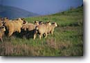 Stock photo. Caption: A herd of sheep Central Coast San Luis Obispo County California -- united states america ranching ranch   western sheeps wooly pasture wooley livestock