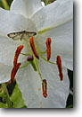 Stock photo. Caption: Lily   in private garden Trinidad Humboldt County,  California -- flowers flower bloom blooming gardens gardening landscaping spring plants ornamental ornamentals cultivated detail details closeups closeup  oriental lilys lillies stamens stamen pollen pollination benificial insects insect geometrid moths