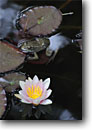 Stock photo. Caption: Waterlily and red legged frog Private garden Trinidad Humboldt County,  California -- flowers flower bloom blooming gardens gardening landscaping spring plants  cultivated closeups closeup lilys lillies frogs threatened animal animals water feature features amphibian amphibians endangered pads