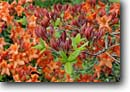 Stock photo. Caption: Flame azalea  (Rhododendron calendulaceum) Private garden Humboldt County, California -- united states america flowers flower bloom blooming formal gardens gardening landscaping spring plants ornamental ornamentals temperate climate azaleas rhododendrons spring contrast colors contrasting cultivated together detail details closeup closeups