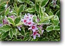 Stock photo. Caption: (Weigela florida varigata) Private garden Humboldt County California -- united states america flowers flower bloom blooming formal gardens gardening landscaping spring plants ornamental ornamentals temperate climate spring contrast colors contrasting cultivated together detail details closeup closeups