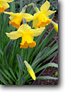 Stock photo. Caption: Spanish daffodil (Narcissus hispanicus) Private garden Humboldt County,  California -- united states america flowers flower bloom blooming formal gardens gardening landscaping spring plants ornamental ornamentals temperate climate daffodils lily lilies spring contrast colors contrasting cultivated yellows detail details closeup closeups