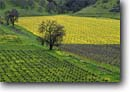 Stock photo. Caption: Vineyards, mustard and valley oak Lower Chiles Valley Napa County California -- wine country spring rural crops grape grapes agriculture vine vines countryside beauty farming farm rural pastoral bountiful america growing region famous rows vineyards landscape landscapes sunny artistic nature pattern patterns design designs flowers