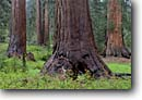 Stock photo. Caption: Giant sequoias Upper Mariposa Grove Yosemite National Park Sierra Nevada, California -- redwoods big trees tree summer redwood forest world heritage site sites sequoiadendron giganteum united states america groves parks meadow meadows ancient large balance calm strength spiritual peaceful columns column strong sequoias old growth virgin