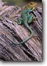 Stock photo. Caption: Yellow-headed collared lizard Colorado Plateau Colorado National Monument Colorado -- united states america summer parks lizards reptile reptiles monuments juniper stump stumps contemplating gieko icon mascot colorful thinking restful restfull peacefull peaceful beautiful contemplative contempletive animal animals wildlife