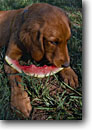 Stock photo. Caption: Golden retriever-Joe the dog   eating watermelon San Juan Mountains Colorado -- united states america summer dog dogs content satisfy satisfied meal meals camping americana  american animal animals fruit eating cute loves watermelons canine canines humor humorous funny looks puppy eyes puppies puppys