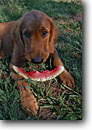Stock photo. Caption: Golden retriever-Joe the dog   eating watermelon San Juan Mountains Colorado -- united states america summer dog dogs content satisfy satisfied meal meals camping americana all american animal animals fruit eating cute loves watermelons canine canines humor humorous funny looks puppy eyes puppies puppys