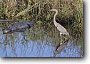 Stock photo. Caption: Great blue heron    and alligator Everglades National Park Florida -- united states south southeast southeastern marsh marshes ponds southern parks world heritage site sites endangered environment alligators reptile reptiles danger dangerous wild bird birds herons animal animals coexist wading coexisting habitat wetlands