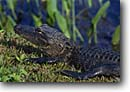 Stock photo. Caption: American alligator Anhinga Trail Everglades National Park Florida -- united states america south southeast southeastern deep marsh marshes ponds southern parks world heritage site sites tourist attraction attractions endangered environment alligators reptile reptiles fear danger scary dangerous wild animal animals wetlands