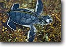 Stock photo. Caption: Green sea turtle hatchling Juno Beach Palm Beach County Atlantic Coast,  Florida -- united states america Chelonia mydas turtles ocean tropical oceans baby hatchlings freedom liberty liberation ecology determination babies baby young animal animals tiny water ocean southern southeastern southeast reptile reptiles saltwater sealife marine