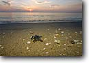 Stock photo. Caption: Green sea turtle hatchling Juno Beach Palm Beach County Atlantic Coast,  Florida -- united states america Chelonia mydas turtles ocean tropical oceans baby hatchlings freedom liberation ecology determination babies baby young animal animals tiny water sandy southern southeastern southeast reptile reptiles saltwater sealife marine beaches