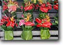 Stock photo. Caption: Anthurium baskets Hilo Farmers Market South Hilo Island of Hawaii, Hawaii -- Anthuriums vendors farmer markets outside flowers flower smile smiles vases vase basket bouquet bouquets