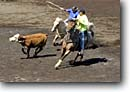 Stock photo. Caption: Paniolos team roping Honokaa Rodeo Arena Hamakua District Island of Hawaii, Hawaii -- cow cows rope horses horse arenas cattle teams