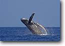 Stock photo. Caption: Humpback whale breaching (Megaptera novaeangliae)   off Kona,  Island of Hawaii Central Pacific Ocean -- marine mammals mammal whales breach breaching animal animals wildlife breaches wildlife Cetacea cetacean cetaceans behavior wild oceans blue water waters humpbacks sunny clear skies winter grounds breeding hawaiian tropical tropics landscape landscapes