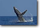 Stock photo. Caption: Humpback whale breaching (Megaptera novaeangliae)   off Kona,  Island of Hawaii Central Pacific Ocean -- Keywords: marine mammals mammal whales breach breaching animal animals wildlife breaches wildlife Cetacea cetacean cetaceans behavior wild oceans blue water waters humpbacks sunny clear skies winter grounds breeding hawaiian tropical tropics landscape landscapes
