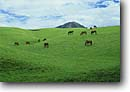 Stock photo. Caption: Horses in Kohala Mountains Parker Ranch Island of Hawaii Hawaii -- tropical destination destinations tourist islands united states america horse grazing graze ranching ranches hawaiian peaceful peace pastoral scenic views scenics livestock green grasses grass