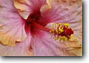 Stock photo. Caption: Cultivated hibiscus species Waikoloa Beach South Kohala Island of Hawaii, Hawaii -- flower flowers detail details closeup closeups hawaiian islands winter tropical united states america plants plant artistic nature vegetation flora blossom blossoms