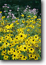 Stock photo. Caption: Black-eyed susans (Rudbeckia hirta)   and wild bergamot (Monarda fistulosa) Upper Peninsula Michigan -- wildflower wildflowers flower flowers sweet bloom blooming blossoms blossom meadow meadow sunflowers sunflower  landscape landscapes garden yellow flowering plants plant midwest midwestern