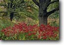 Stock photo. Caption: Sumac and pin oak Pershing State Park Linn County Missouri -- destination destinations attractions fall autumn tourist attraction midwest parks scenic scenics landscape landscapes midwestern tree trees oaks color colors colorful