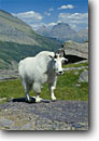 Stock photo. Caption: Mountain goat & Going-to-the-Sun Mountain from Gunsight Pass Glacier National Park Rocky Mountains, Montana -- united states america summer parks northern world heritage site sites rockies landscape landscapes dramatic peaceful tranquil majestic goat high country backcountry peak peaks mammal mammal animal animals wildlife habitat