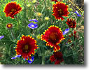 Stock photo. Caption: Firewheel and blue flax south of Grants Colorado Plateau New Mexico -- gaillardia linea flower flowers wildflower wildflowers details detail closeup closeups spring  pulchella linum perenne united states america canyon country blanket blanketflowers bloom blooming native plants plant flower species colorful colourful