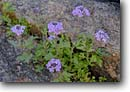 Stock photo. Caption: Rose vervain (Verbena canadensis) Charon