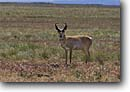 Stock photo. Caption: Pronghorn antelope Hart Mountain National Antelope Refuge High Desert Oregon -- united states america wildlife animal animals antlers antler portrait portrait landscape landscapes deserts big game species hunted hunting refuges protected western
