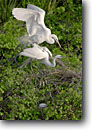 Stock photo. Caption: Great egrets (Ardea alba)  mating on nest Spring Island, Beaufort County Lowcountry, South Carolina -- united america areas bird birds wading herons white south deep southeastern southeast southern states wildlife Ardea alba white egrets wading wadingbird wadingbirds behavior behaviour nesting pair eggs