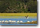 Stock photo. Caption: Wood storks (Mycteria americana)   with roosting egrets Spring Island, Beaufort County Lowcountry, South Carolina -- bird birds stork south southern southeast southeastern united states long legs behavior behaviour wings  wildlife egret wetland wetlands habitat swamp swamps wading wadingbird wadingbirds colony flock flocks sunny large marsh marshes flight