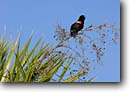 Stock photo. Caption: Male red-winged blackbird  (Agelaius phoeniceus)   singing in Sabal palmetto Spring Island, Beaufort County Lowcountry, South Carolina -- songbird blackbirds bird birds southeast southeastern united states america trees lowcountry swampy pristine forest forests songbirds perched perching species dweller wildlife habitat sunny blue skies clear song