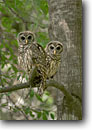 Stock photo. Caption: Barred owls, immature, (Strix varia)   in oak forest Spring island, Beaufort County Lowcountry, South Carolina -- bird birds wildlife southeast southeastern united states america spring habitat juvinille environment animals animal perched perch tree trees forests inhabitant inhabitants
