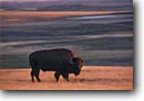 Stock photo. Caption: Buffalo  (American bison)   and short grass prairie Badlands National Park Great Plains,  South Dakota -- united states america buffalos bisons parks fall autumn prairies independence hope americana symbol power powerful environment habitat wild animal wildness survivor animals wildlife icon single badland male