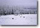 Stock photo. Caption: Horses in winter Cades Cove Great Smoky Mountains National Park Tennessee -- united states america horse farm farms snow cold freeze freezing frozen pasture pastures parks cold grazing animals animal smokies domestic domesticated livestock habitat snowy ranch overcast gray