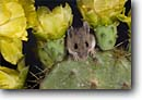 Stock photo. Caption: Deer mouse   on flowering prickly pear cactus Coastal Bend Region Texas -- animal animals mice cute native humor humorous sweet contrast offbeat critters critter