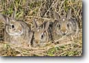 Stock photo. Caption: Baby cottontails Texas Hill Country Texas -- animal animals rabbit rabbits cottontail babies family cute cuddly easter furry critter critters