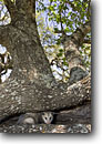Stock photo. Caption: Virginia Opossum (Didelphis virginiana)   in oak Texas Hill Country Texas -- animal animals possum possums opposums tree trees hiding camoflage camoflaged  southern critter critters native scenic scenics landscape landscapes