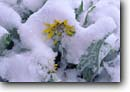 Stock photo. Caption: Arrowleaf balsamroot Whitman Bench near Fairview Point Bryce Canyon National Park Paunsaugunt Plateau,  Utah -- flowers wildflower wildflowers detail details closeup closeups macro united states america spring snow burden droop drooping mountain canyon country national parks balsamorhiza sagittata paunsaugunt unseasonable snowy covered flower native plant plants